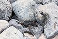 Iguana marina (Amblyrhynchus cristatus), isla Lobos, islas Galápagos, Ecuador, 2015-07-25, DD 51.JPG