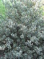 Ilex aquifolium 'Ferox' 03 by Line1.JPG