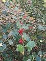Ilex aquifolium 107351070.jpg