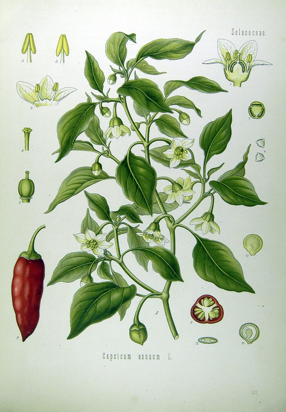Illustration Capsicum annuum0