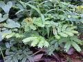 Incha - Acacia caesia.jpg
