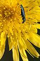 Insecte sur fond jaune.jpg