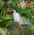 Intermediate Egret in breeding plumage.1 - Fogg Dam - Middle Point - Northern Territory - Australia.jpg