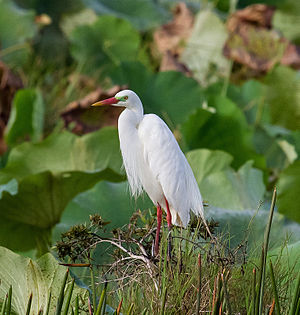 Intermediate egret - Ardea intermedia of breeding plumage in Northern Territory, Australia