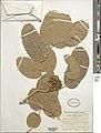 Isoberlinia tomentosa-NMNH-2517508.jpg