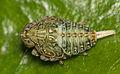 Issus coleoptratus (nymph).jpg