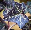 Ivy leaf (50844400051).jpg