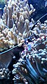 Iz - Lysmata amboinensis - 2.jpg