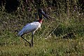 Jabiru mycteria Crooked Tree 04.JPG