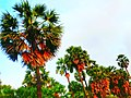 Jaffna palm.jpg