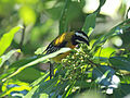 Jamaican Spindalis RWD4.jpg