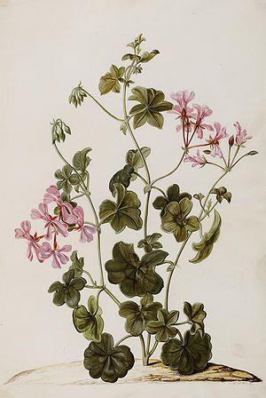 Jan Moninckx - Pelargonium peltatum L.