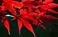 Japanese Maple leaves in Boxborough, Massachussetts.jpg