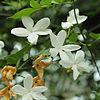 Jasminum officinale-IMG 4556.jpg