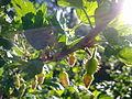 Jeunes groseilles à maquereau à Grez-Doiceau 002.jpg