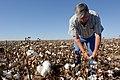 Joe Reed in his field of cotton, near Kress, TX. (25023852031).jpg