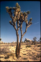 Joshua Tree National Park JOTR1923.jpg
