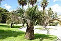 Jubaea chilensis - Orto botanico - Rome, Italy - DSC00310.jpg