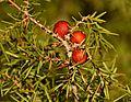 Juniperus oxycedrus in Parc naturel régional de la Narbonnaise en Méditerranée.jpg