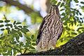 Juvenile cooper's hawk.jpg