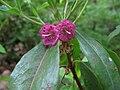 Kalmia angustifolia 3869.JPG