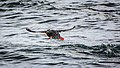 Kamchatka Puffin Take-Off (17259623139).jpg