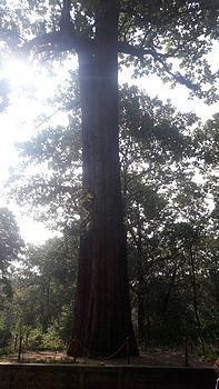 Karimara teak tree.jpg