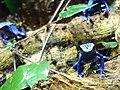 Ke - Dendrobates tinctorius azureus - 3.jpg