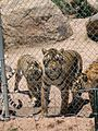 Keepers of the Wild - Tigers - panoramio - Zzyzx.jpg