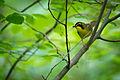 Kentucky Warbler (Geothlypis formosa) (17908075464).jpg