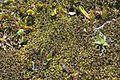 Kiaeria falcata (a, 110223-471210) 4580.JPG