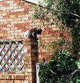 Koala on a fence 2.jpg