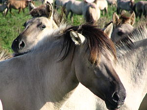 Primitive markings - This Konik shows the dark face mask and frosted mane common to primitive horses.