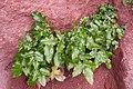 Korina 2010-09-29 Mahonia aquifolium.jpg