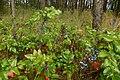 Korina 2014-08-29 Mahonia aquifolium 4.jpg