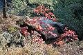 Korina 2015-10-10 Quercus rubra 4.jpg