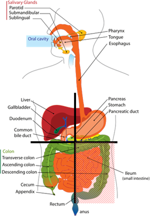 Quadrant (abdomen) - Diagram showing which organs (or parts of organs) are in each quadrant of the abdomen