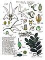 LR029 72dpi Dendrobium nugentii.jpg