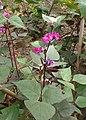 Lablab purpureus kz02.jpg