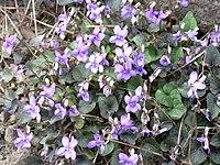 Labrador Veilchen Viola labradorica.JPG