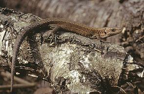 Waldeidechse (Zootoca vivipara), Männchen