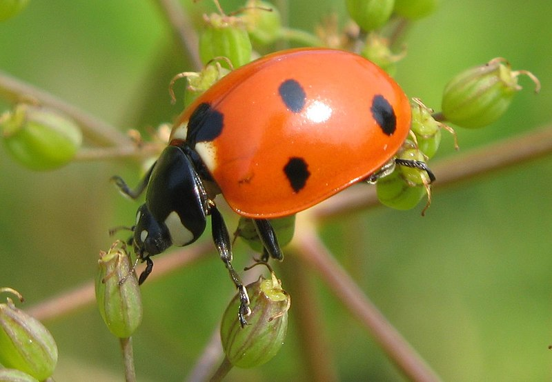 Lady-beetle-close-up.jpg