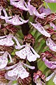 Lady Orchid - Orchis purpurea (14098910291).jpg