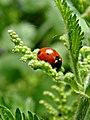 Ladybird - geograph.org.uk - 459255.jpg