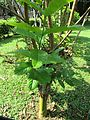 Lagerstroemia speciosa (Pride of india) tree in RDA, Bogra 03.jpg
