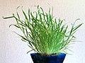 Lamarckia aurea20150524 3246.jpg