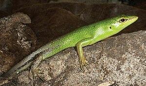 Lamprolepis smaragdina - Image: Lamprolepis cf. smaragdina