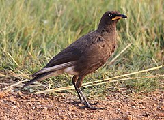 Lamprotornis bicolor -Rietvlei Nature Reserve, Pretoria, South Africa -adult-8.jpg