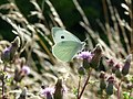 Large White Butterfly (4528683455).jpg