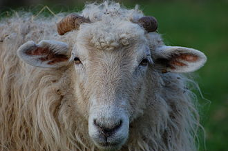Basque breeds and cultivars - A Latxa ewe